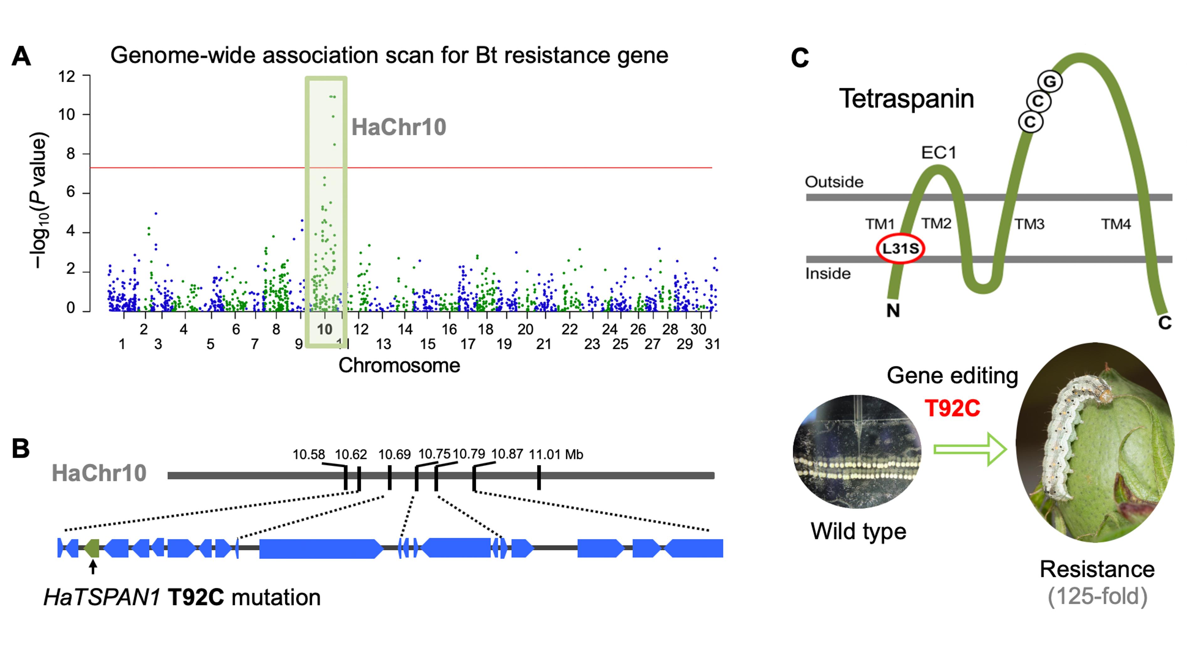 利用全基因组关联分析和基因精细定位,将棉铃虫bt显性抗性基因定位于
